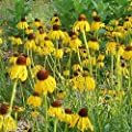 Ozark Yellow Coneflower Seeds (Echinacea paradoxa) 15+ Heirloom Wildflower Seeds in FROZEN SEED CAPSULES for the Gardener & Rare Seeds Collector - Plant Seeds Now or Save Seeds for Years