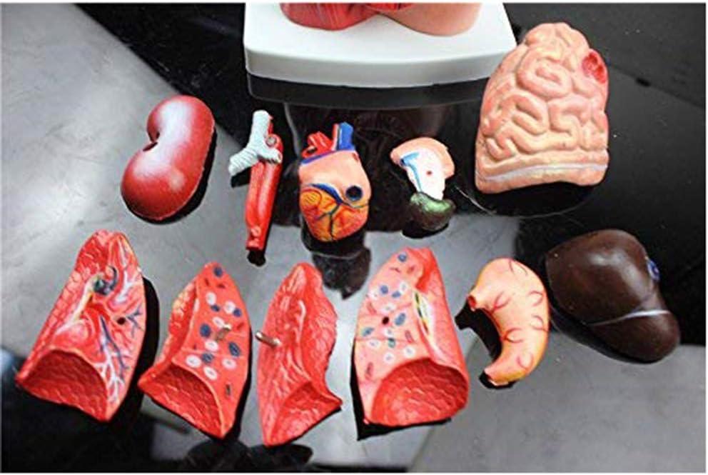 Human Torso Body Anatomy Model Heart Brain Skeleton,for Anatomy Art,Torso Body Anatomy Model Including Skeleton Visceral,for Doctors Office Educational tool-26Cm
