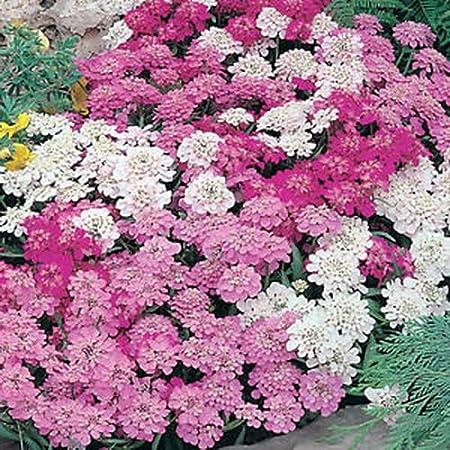 Iberis Umbellata Flowers Seeds from Ukraine