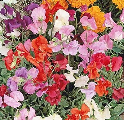 Non GMO Bulk Sweet Pea, Knee High Mix Flower Seeds Lathyrus odoratus