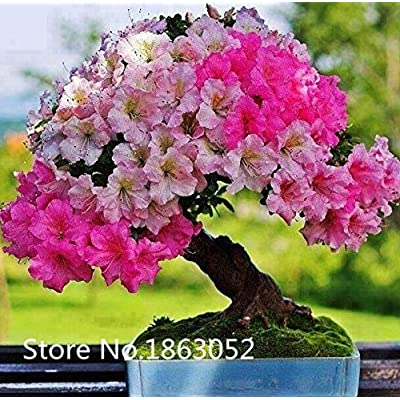 New Arrival Rhododendron seeds potted Azalea biji tree seeds, varieties complete 200 particles / bag : Garden & Outdoor