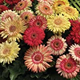 Outsidepride Gerbera Daisy Strawberry Twist Flower Seed Mix - 20 Seeds
