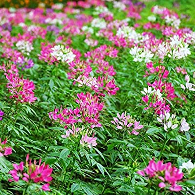 Earth Seeds Co 50 Pcs Cleome spinosa Seeds, Spider Flower Seeds Attractive to pollinators Ideal for beds and Borders : Garden & Outdoor