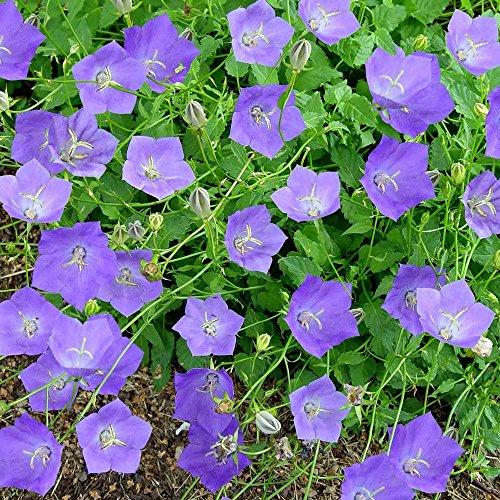 - IDEA HIGH 1: Campanula carpatica Blue Clips - 3 Plants