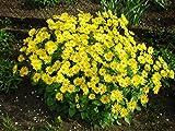 Doronicum orientale little Leo Flower Seeds from Ukraine