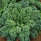 David's Garden Seeds Kale Blue Curled Scotch SL311KAB (Green) 200 Heirloom Seeds