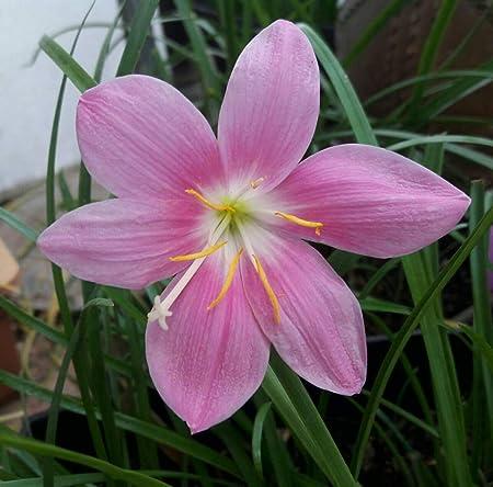 Zephyranthes Bulbs Rain Lily Bonsai Home Garden Plant Beautiful Flower Decor