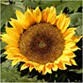 80 Sunflower Seeds - Dwarf Sunspot (Helianthus annuus) Seeds By Seed Needs