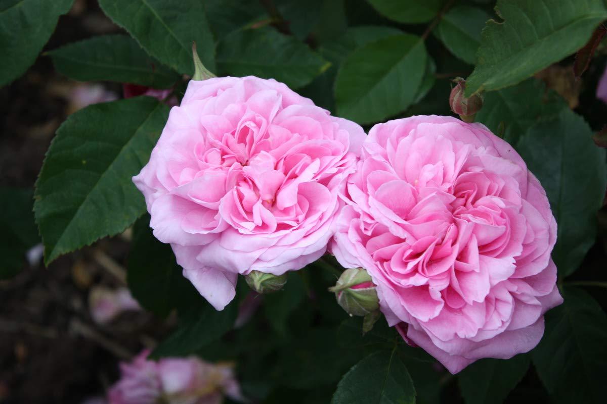 starke Pflanze im 4ltr-Topf im grossen Container Rose Gertrude Jekyll/®