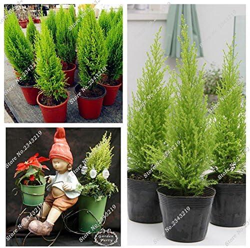 Rara semilla de pino Spruce árbol en bonsai Patio Terraza Picea árbol y Jardín purificador de aire de 40 piezas de ...