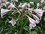 Crinum Lily, Herbertii 'Montgomery Nana', large, blooming-size bulb