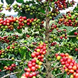 "Hirt's Arabica Coffee Bean Plant - 3"" Pot - Grow & Brew Your Own Coffee Beans"