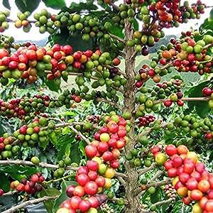 Amazon Com Hirt S Arabica Coffee Bean Plant 3 Quot Pot