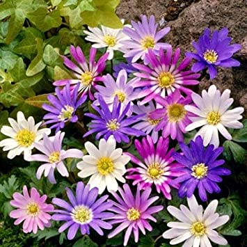 50 anemone blanda mixed spring flowering bulbs select your 50 anemone blanda mixed spring flowering bulbs quotselect your favourite varieties mightylinksfo
