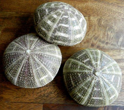 Hinterland Trading Alphonse Urchins Purple