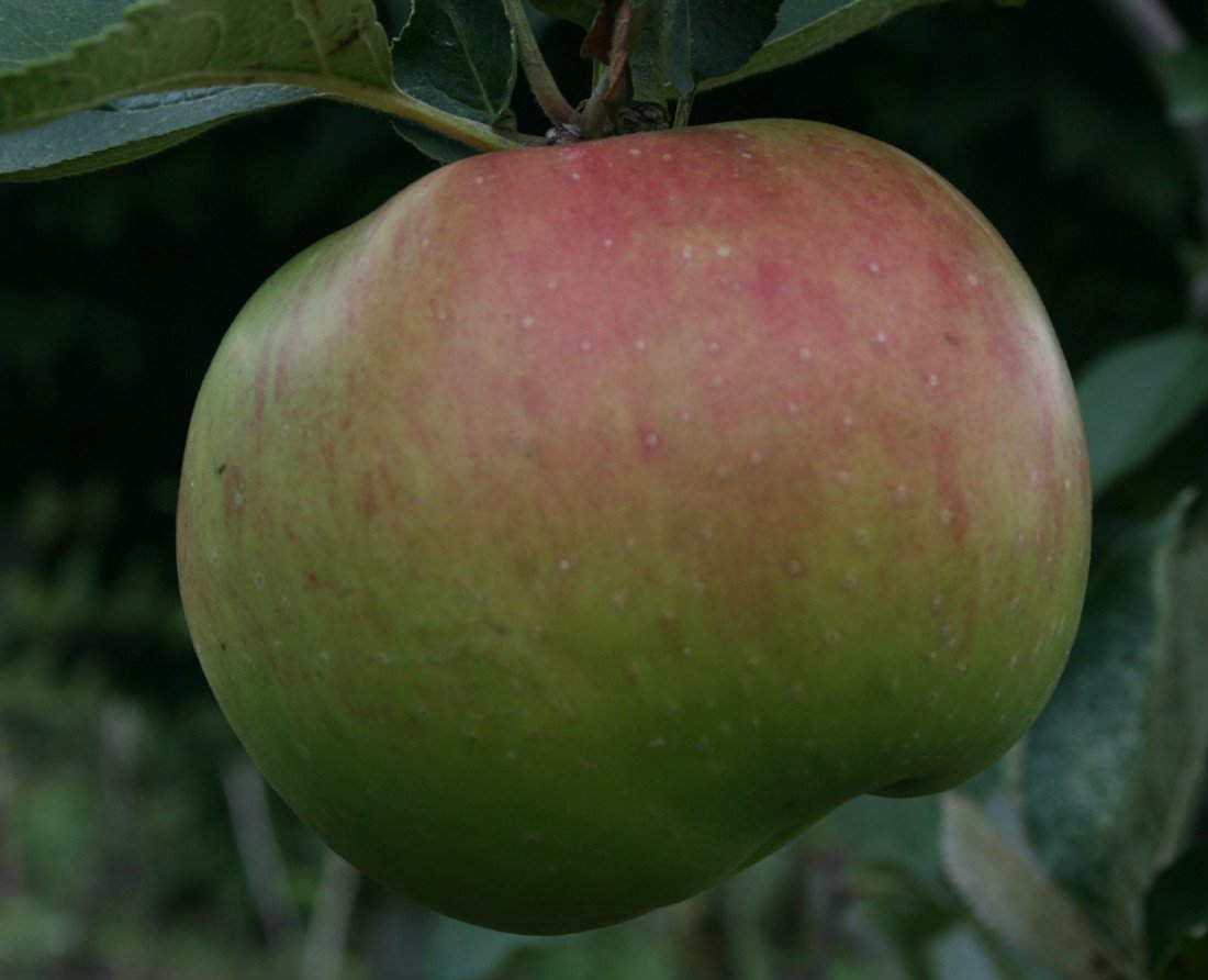 Dwarf Patio Apple Tree 'Bramleys Seedling' Fruit tree for pots, or small gardens