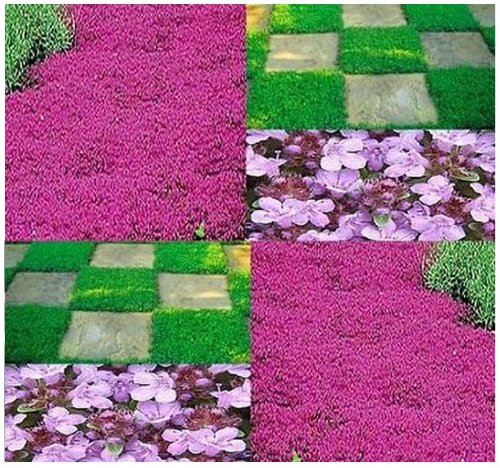 1,000 x CREEPING THYME Herb Seeds Thymus Serpyllum ~ Butterflies love it so will U - By MySeeds.Co