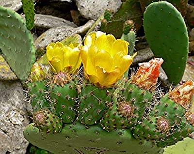 34 seeds Prickly Pear Cactus Tree Seeds For Planting