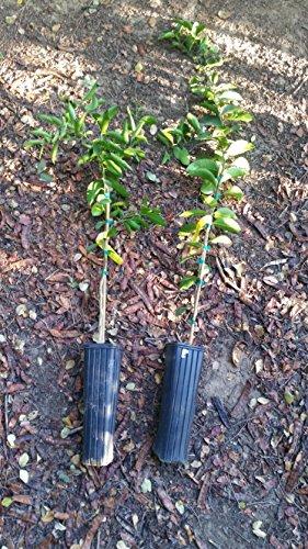 washington-navel-orange-tree-25-ft-to-35-ft-tall-fruiting-age-seedless-orange-grafted-citrus