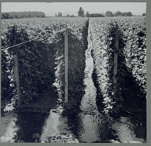 Photo: West Stayton,Marion County,Oregon,Migratory bean - Field Marion West