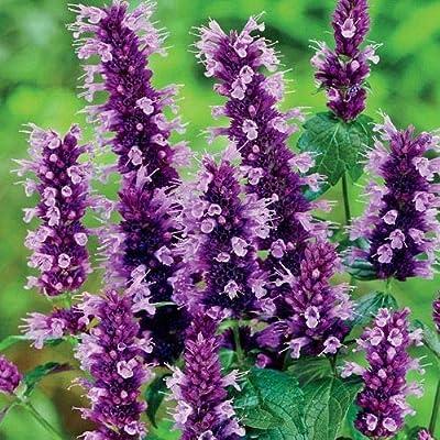 Heirloom Organic Anise Hyssop 300 Seeds by AchmadAnam : Garden & Outdoor