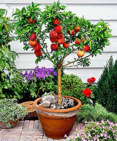 Amazon.com : 10 Seeds Dwarf Peach Fruit Tree Indoor/Outdoor ...