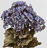 Hybrid Hydrangea, Light Blue, 32 Inches High, 12 Floral Sprays