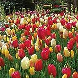 Burpee's Single Late Tulip Mix - 10 Flower Bulbs   Multiple Colors   12 - 14cm Diameter