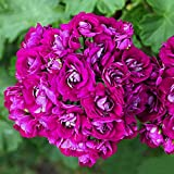 Oliote 10pcs Geranium Seeds Pelargonium Hortorum Flower Seeds Garden Potted Plants