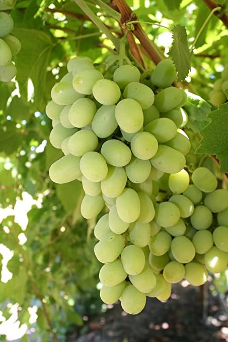 how to grow seedless grapes without seeds