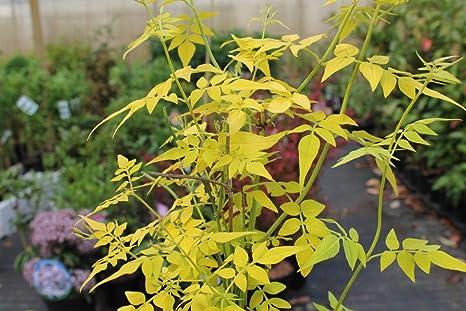 Jasminum Fiona Sunrise - Jazmín aromático para balcón y terraza ...