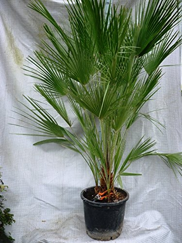 Palme, Chamaerops humilis, Zwergpalme - verschiedene Größen (150-180cm - St.40-50cm - Multi - PotØ 40cm)