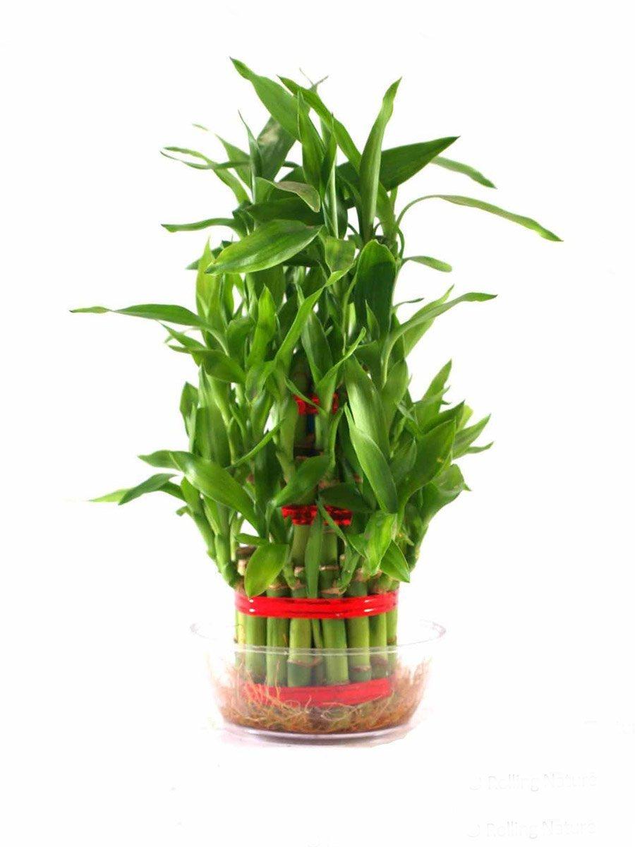 Indoor Plants: Buy Indoor Plants Online at Best Prices in India ...