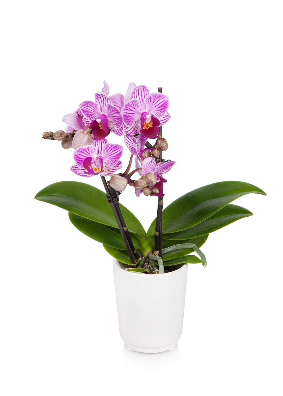 Just Add Ice JAI203 Mini Orchid, Unique by Just Add Ice