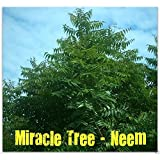 20 Neem Plant Seed (Azadirachta Indica)fast-growing-leaves,fruits,seeds Are Edible
