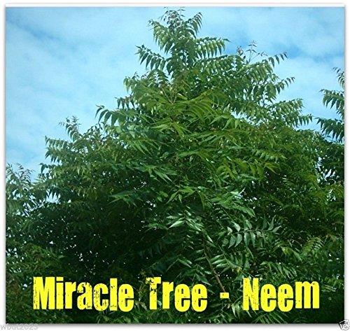 Neem Plant - 1
