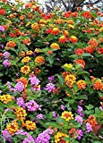 "Lantana Camara Flowers – Two (2) Live Plants – Not Seeds - Natural Mosquito Repellant Garden - Attract Hummingbirds & Butterflies - Each 3"" to 7"" Tall in 4 inch Pots - Assorted Colors - PREMIUM PLANTS"
