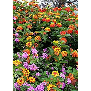 Amazoncom Lantana Camara Flowers Two 2 Live Plants Not