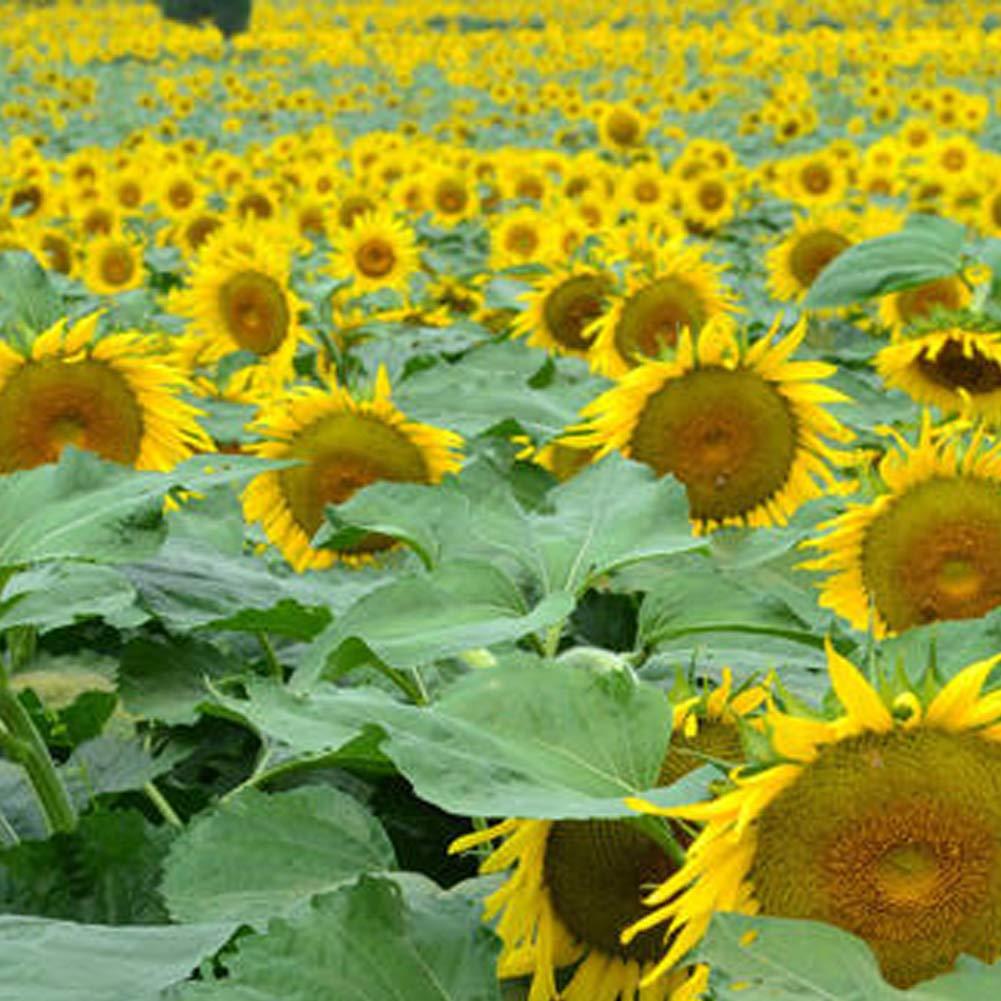 QHYDZ Seeds Semillas Girasol Gigante Raras Helianthus Perennes Flor Semillas para Aves y Abejas 30pcs Plantas Ornamentales para Jard/ín Patio