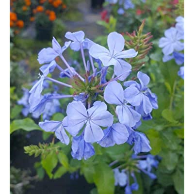 Plumbago Imperial Blue Live Plants 7 to 10 Inches Tall Gallon Size As003 : Garden & Outdoor