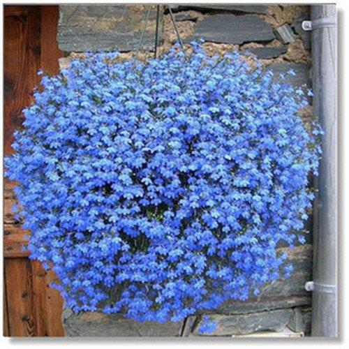 Famiglia Perenne Piante Da Giardino, Fiore Di Lino Blu Fiori, Piante In