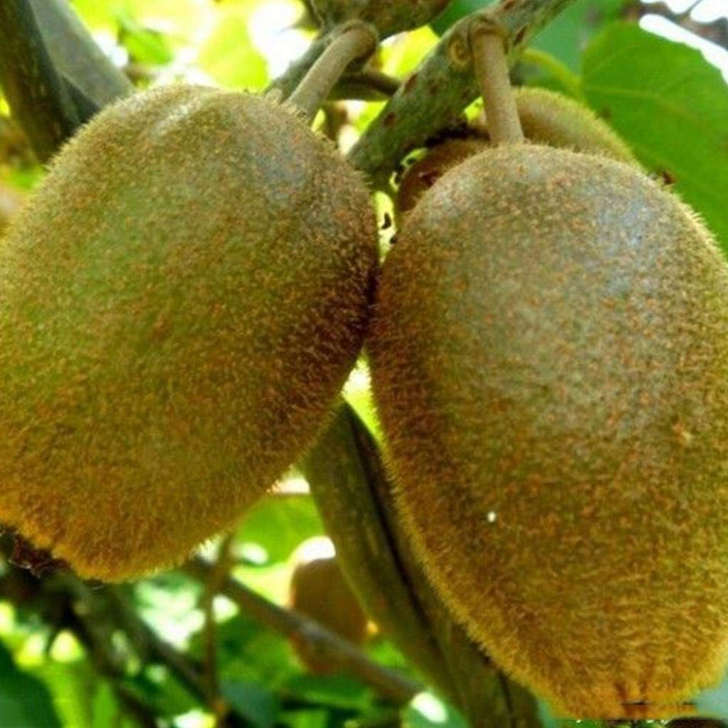 XKSIKjians Garden 100Pcs Rare Raspberry//BlackBerry//Strawberry//Kiwi Seed Nutritious Fruits Bonsai Ornamental Plant Non-GMO Pollinated Seeds for Planting BlackBerry Seeds