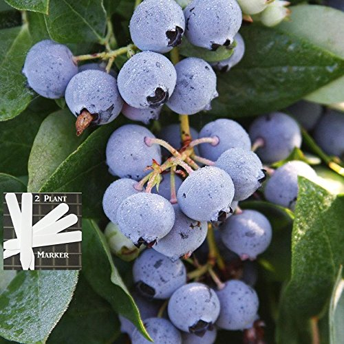 Patriot Blueberry 300+ Seeds 646263362761 + 2 Free Plant Markers - Quarter-Size Berries