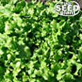 Salad Bowl Lettuce Seeds - 1000 Seeds Non-GMO