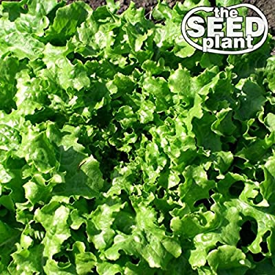 Salad Bowl Lettuce Seeds - 1000 Seeds Non-GMO