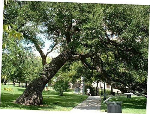 SAFA Bare Root Plants 2 Texas Live Oak Seddlings Trees Shade - EB175 ()