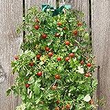 hanging cherry tomato kit - Organic Hanging Cherry Tomato Garden Kit 8.5