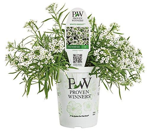 White Knight SweetAlyssum (Lobularia) Live Plant, White Flowers, 4.25 in. Grande, (Alyssum Plants)