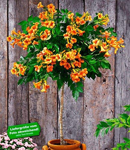 BALDUR-Garten Campsis-Stämmchen Indian Summer Trompetenblume 1 Pflanze Zierstämmchen winterhart