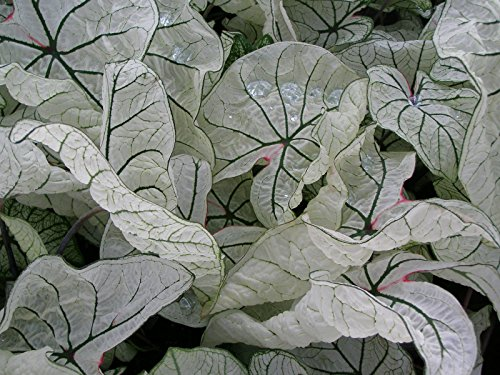 Dwarf Candidum Jr. (5 Bulbs) Excellent for shady gardens. elephant ear ! (Caladium Plant)